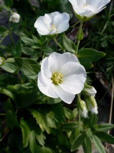 Масло семян пенника лугового