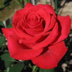 Бархатная Роза (отдушка)