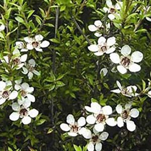 Гидролат Чайного дерева (Великобритания)