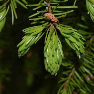 Хвойный лес (отдушка для мыла)