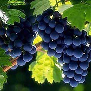 Пудра винограда